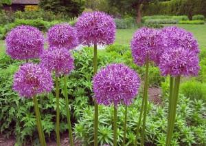 Allium 'Globe Master'