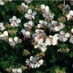 BIOKOVA GERANIUM flowers closeup.jpg beechwoodlandscapecom
