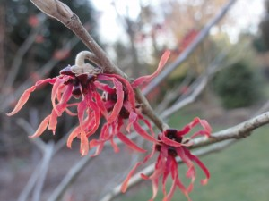 'Jelena' Witchhazel in February