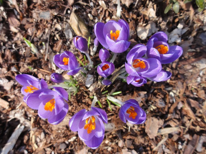 Crocus: a signal that spring cannot be far off