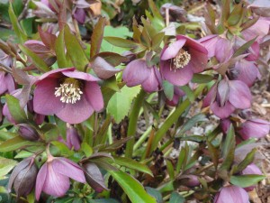 Helleborus orientalis (Lenten Rose) flowers in February