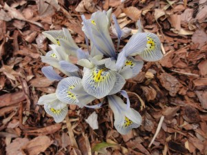 'Katherine Hodgkin' dwarf Iris blooming March 1st