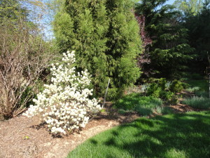 Fothergilla gardenii (Dward Fothergilla)