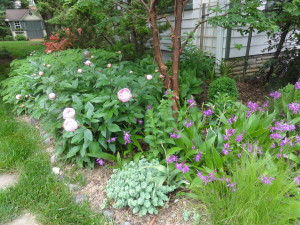 Bletilla striata (Hardy Orchid) on the right with Peony peeking out on the left.