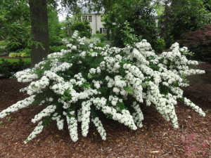 Snow in may no just white flowering plants garden makeover company pyracantha firethorn mightylinksfo