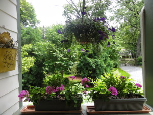 Geraniums are the old stand-by for reliable summer-long color