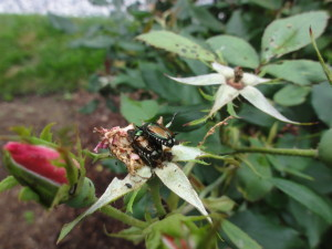 Knock-out Rose with Japanese Beetles