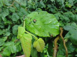 Harry Lauder's Walking Stick with Japanese Beetles