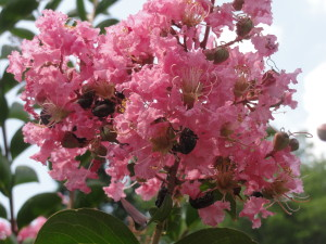 Crapemyrtle flowers with Japanese Beetles