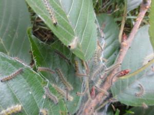 Fall webworm on Kwanzan Cherry tree