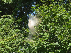 Fall webworms appear at tree branch tips