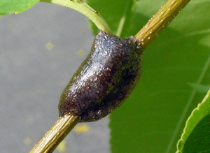 Egg mass of Eastern Tent Caterpillar
