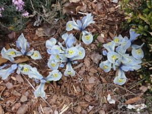 Iris histroides 'Katharine Hodgkin'