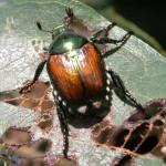 Adult Japaese Beetle