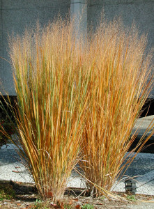 Panicum virgatum 'Northwind' in fall