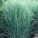 2014 perennial plant of the year panicum virgatum for Hearty ornamental grasses