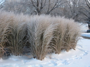 Panicum virgatum 'Northwind' in winter