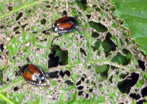 How to Get Rid Of Japanese Beetles | The Tree Center™ |Japanese Maple Red Beetle