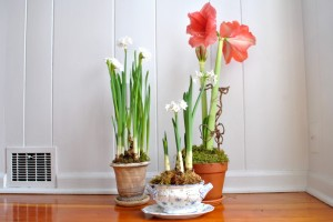 Paperwhites and Amaryllis bulbs forced indoors in winter.  Photo: thegtguide.com